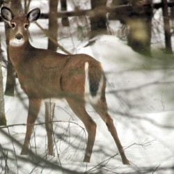 Mild winter helps Maine deer herd