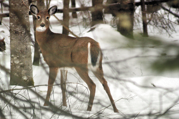 Declining winter deer habitat is a major concern throughout northern Maine, including the Moosehead Lake area where this deer was photographed last winter.