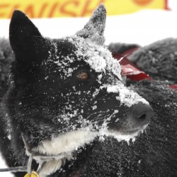 And they're off at the annual Can-Am Crown International Sled Dog Races
