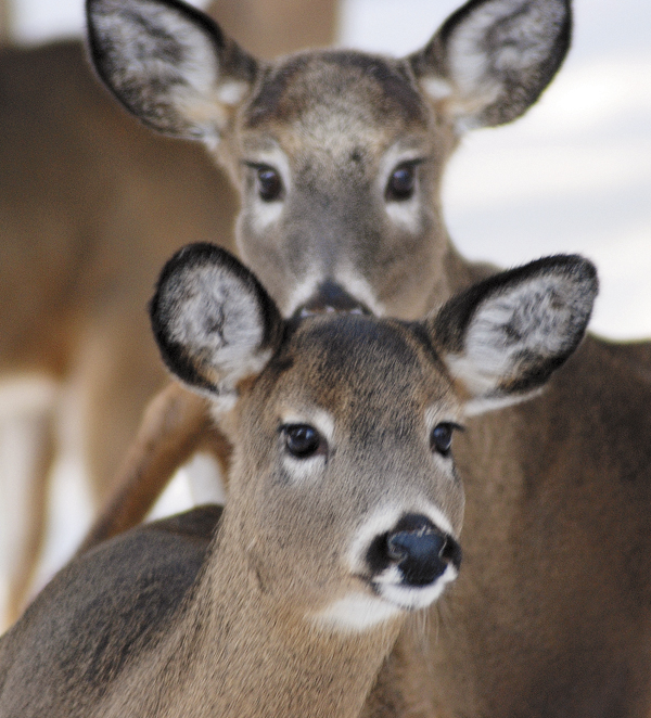 Two deer peer at a photographer as they wait to feed in Allagash near the end of a harsh winter in March of 2009.