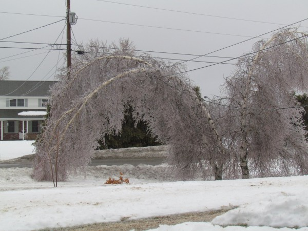 A birch tree on Patten Drive in Hermon is weighed down by ice on the morning of Monday, March, 7. Ice and rain are part of a major storm hitting the state.