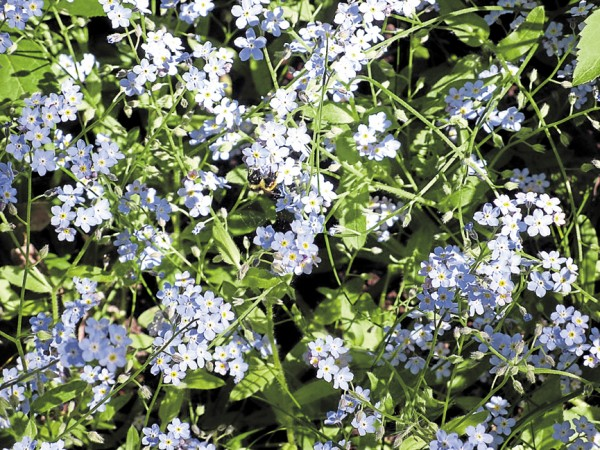 Forget-me-nots cover the ground in shady spots, creating a misty blue effect.