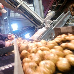 Maine potato harvest smallest in decades