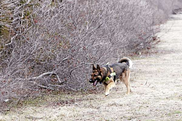 A cadaver dog searches the thick brush on the side of the road near Oak Beach, N.Y., Monday, April 4, 2011. Searchers perched in fire truck bucket ladders Monday scanned dense, tick-infested undergrowth Monday in a search for more victims of a possible serial killer near where five sets of human remains have been found.