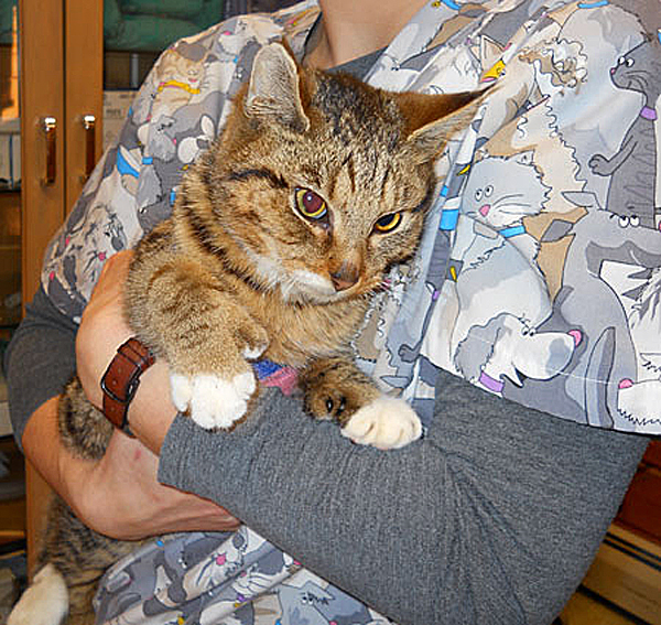 This 12-month-old cat escaped a house fire by jumping out an upper story window but suffered two broken legs, a shattered pelvis and burn wounds. The cat was found in a nearby barn with no food or water three weeks later. The Ark Animal Shelter is seeking assistance to help defray medical costs for the double-pawed tabby cat.