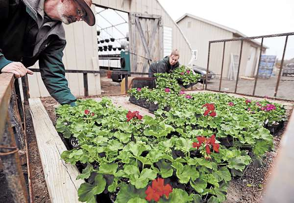 Staff members at Sprague's Nursery in Bangor unload geraniums from a cart into a greenhouse on Tuesday. 'Calliope Red' is the new color of the season, according to Sprague's Nursery retail manager Melissa Higgins.