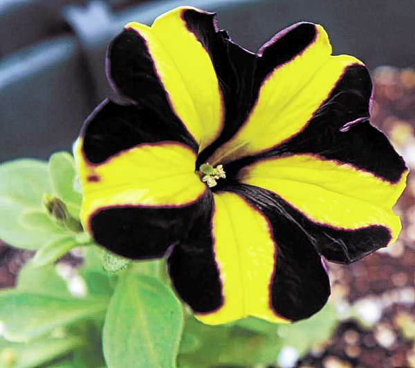 Sprague's Nursery stocks petunias with yellow and black strips, another new addition.