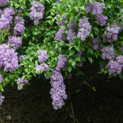 Lilacs require just the right combination of winter chill, spring sunshine and well-timed pruning to flower and flourish.