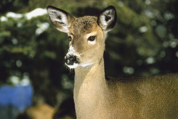 Fewer doe would be harvested under IF&W proposed rule-making process.