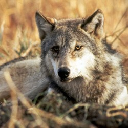 Judge blocks deal on protections for wolves