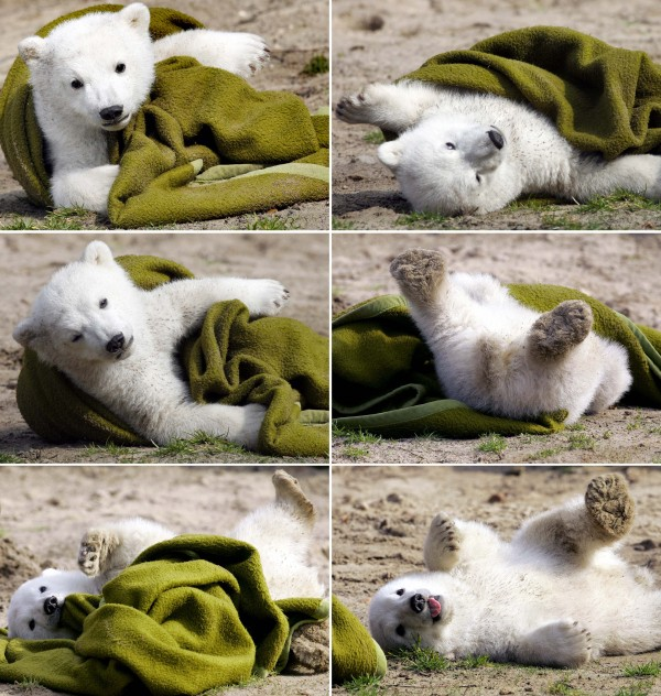 In this combo of March 23, 2007 file pictures Knut the polar bear cub plays with a blanket during his first public appearance in the Berlin zoo. A Berlin zoo official says world-famous polar bear Knut has died. Germany's celebrity polar bear Knut died from drowning after collapsing due to swelling of his brain and falling into his enclosure's pool, an expert said Friday, April 1, 2011. A necropsy of the four-year-old bear who died suddenly two weeks ago showed he was suffering from encephalitis, an irritation and swelling of the brain that was likely brought on by an infection, pathologist Claudia Szentiks said. In Knut's honor and in time for Earth Day on April 22, you can make a polar bear out of a clay pot to remind you that the survival of all animals is important.