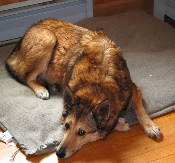 Julia Bayly's dog, Corky after it was scrubbed following an encounter with a skunk.