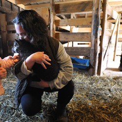Nash Island sheep shearing is rite of spring, creates sense of community