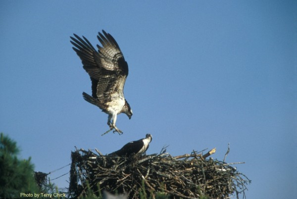 This osprey pair has returned to Wolfe's Neck State Park.