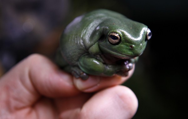 A White's tree frog perches on the hand of biologist Matt Evans at the National Zoo in Washington in 2009. April is National Frog Month, and by now, most people know kissing a frog won't give you a prince and touching a toad won't give you a wart.