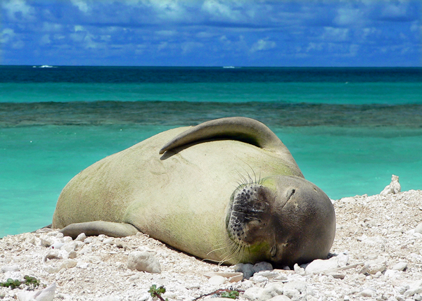 The Hawaiian monk seal is critically endangered, with just 1,100 seals remaining in the species.