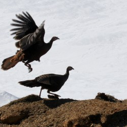 Turkey decoys draw … eagles?