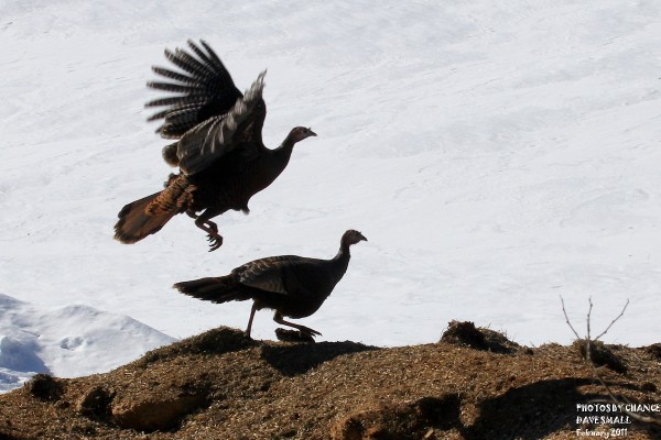 Turkeys take to the air earlier this spring at the University of Maine farm.
