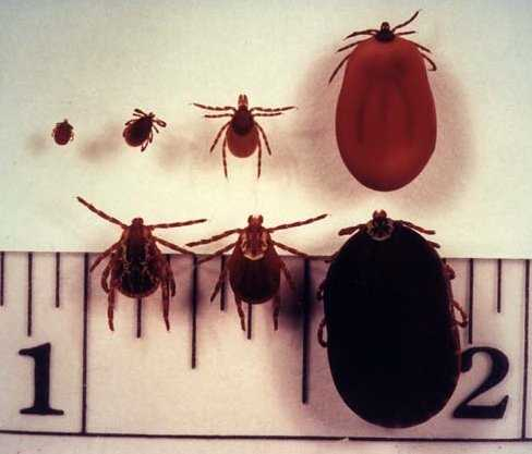 Top Row: Ixodes scapularis (dammini), the deer tick which transmits Lyme disease.  Left to right: nymph, adult male, adult female, engorged adult female.  Nymphs are most common May through July. Adults appear in the fall and early spring.