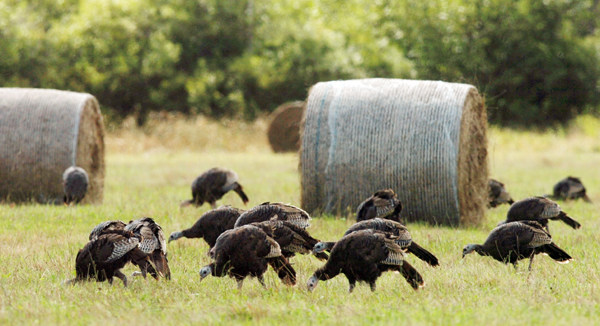 Wild turkeys search for food in a field in Levant.