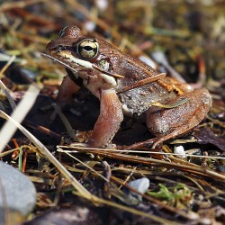A Wood frog sits in the University of Maine Forest last week.