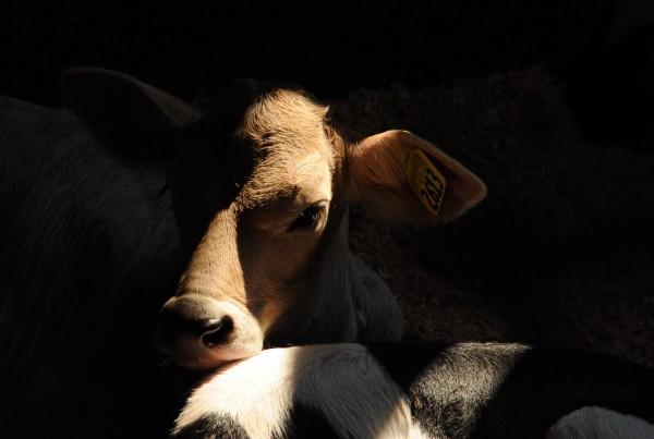 """""""Cow Calf,"""" a photograph at Gold Top Farm by Hugh Chatfield."""