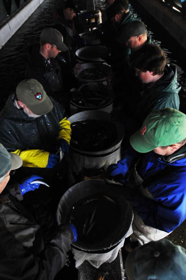 Standing on cement blocks in the middle of the fish raceway, volunteers and biologists gather around tubs of landlocked salmon to clip fins at the Grand lake Stream Fish Hatchery on Thursday, April 28, 2011.