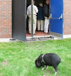 Minnie, a pot-bellied pig owned by the Hall family of Mount Vernon, snuffles around in the grass outside Alexander Fieldhouse at Maine Maritime Academy on Saturday as Dick Hall holds her on a leash from inside a fieldhouse doorway. Hall brought Minnie to MMA's graduation ceremony at the request of his daughter Abby Hall, who received a Bachelor of Science degree during the school's 68th commencement exercises, held Saturday morning inside the fieldhouse.