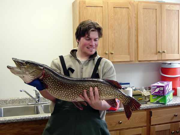 Joshua Kuester, a temporary biology technician with the Maine Department of Inland Fisheries & Wildlife, holds a 17-pound northern pike that was trap-netted in an outlet of Pushaw Lake recently. The DIF&W has netted and killed more than 75 pike at Pushaw this spring. The species was illegally introduced into the lake several years ago.