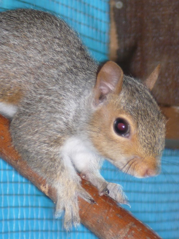A gray squirrel eyes a stranger at the St. Francis Wildlife Center in Fairfield in 2007.