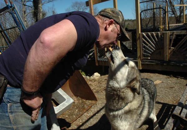 "Bill Doughty feeds Koda, who is almost pure wolf, a dog biscuit from his mouth at the Wolf Ledge Refuge and Education Center, located on his property in Bristol, on Thursday, April 7, 2011. Doughty currently has two wolf hybrids, with hopes of expanding the refuge to house up to twenty, but his plan may be halted due to an amendment L.D. 11, the wolf hybrid bill. Sponsored by Senator David Trahan (R-Waldoboro), the amendment would impose stricter regulations pertaining to keeping wolf hybrids in captivity. ""He's a big baby,"" Doughty says of 180-pound Koda, who frequently plays with Doughty's grandchildren."