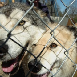 Imperiled wolf hybrid returned to original owner in Waldoboro