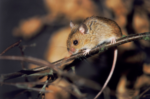 The first-ever reported case in Maine of hantavirus pulmonary syndrome, a potentially fatal respiratory condition spread by the common house mouse, was diagnosed in Somerset County at the end of April.