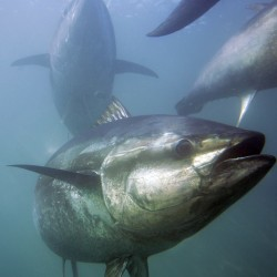 Japan to cut bluefin tuna catch by half