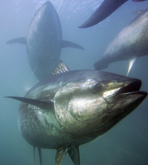 Bluefin tuna are seen inside farming pens before harvest in March 2007 near Ensenada, Mexico. The National Oceanic and Atmospheric Administration announced Friday that after an extensive scientific review, it has determined that the bluefin tuna no longer warrants protection under the Endangered Species Act.