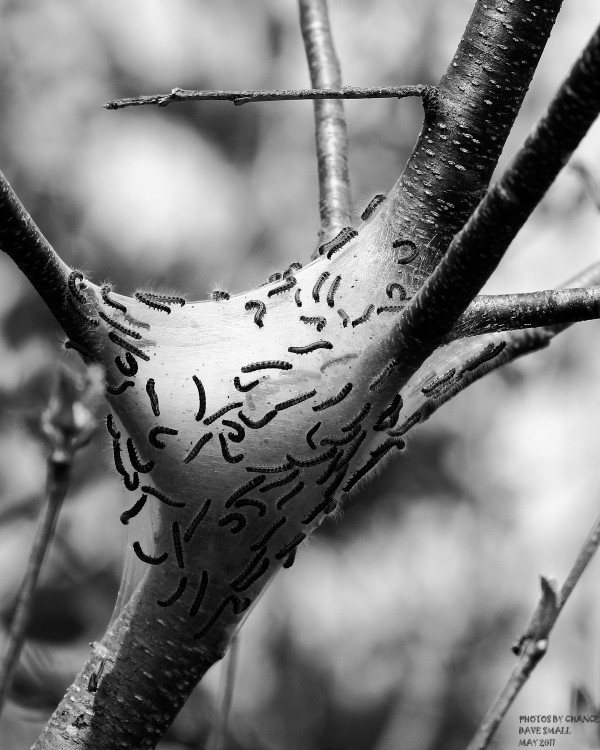 With warmer weather comes the caterpillars.