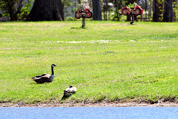 A pair of Canada geese rest on the shore of Lake Auburn at the Outlet Beach on Thursday.  The popular swimming hole has been rendered virtually useless by the mess left from the roosting geese.