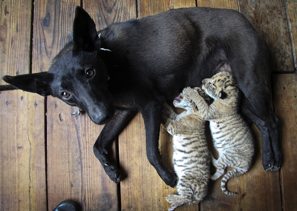 A dog nurses two liger cubs at a zoo in Weihai in east China's Shandong province.