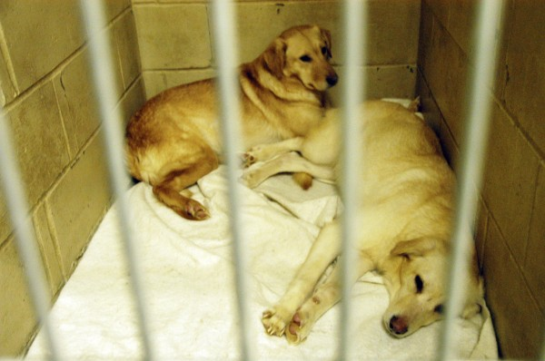 Two of four female dogs rescued from an Enfield home in March 2010 rest comfortably at the Penobscot Valley Humane Society shelter in Lincoln after getting baths.