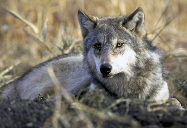 A gray wolf resting in tall grass.
