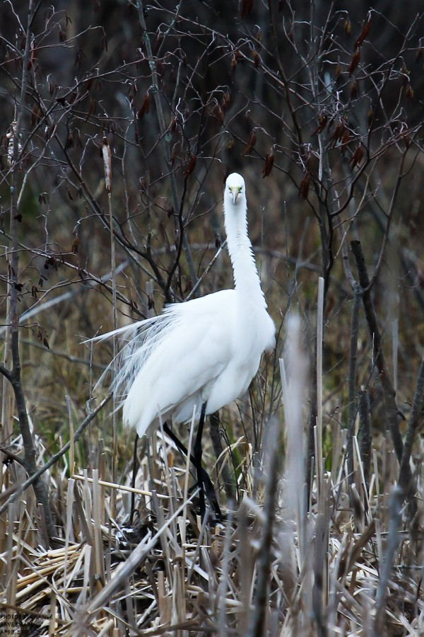 Last week a great egret visited a small pond off Gilman Falls Avenue in Old Town.