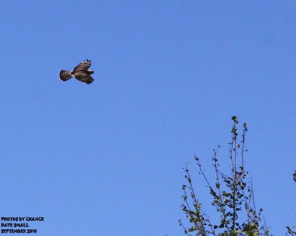 Hawk in flilght