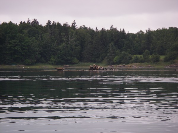This pod of seals dries out on ledges in the upper reaches of the Bagaduce River during a guided tour by Castine Kayak Adventures while looking for horseshoe crabs.