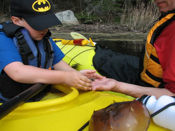 This young paddler gets a first-hand look at a small horseshoe crab (larger one in foreground) during a guided tour of the Bagaduce River with Castine Kayak Adventures.