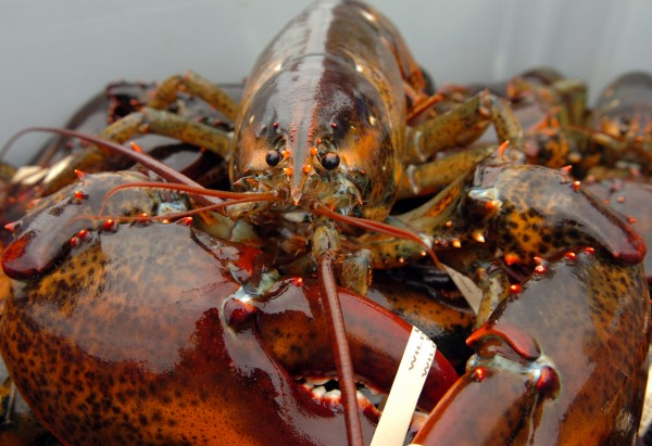 A lobster is seen at Barney Cove Lobster Co. in July 2009. On the heels of last year's record-shattering Maine lobster catch, another bountiful harvest is expected this year. But lobstermen are worried about high fuel costs, high bait costs and a still-fragile economy.