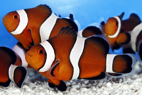 Maine Mocha clownfish are among the species tropical fish being raised at Sea & Reef Aquaculture LLC.