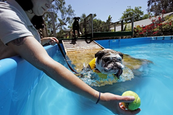 In this Tuesday May 3,2011 photo  with her 4-year old Rotweiller Chico watching on  obedience trainer and animal behaviorist Cora Wittekind eases Valentine, a 4-year-old, 42-pound, short-snouted English bulldog into her swimming lession at the Paradise Ranch Pet Resort in the Sun Valley section of Los Angeles.  The American Society for the Prevention of Cruelty to Animals recommends introducing your dog to the water very early, as a puppy if possible, making sure the experience is pleasant and never letting the dog get in water over its head until it is an accomplished swimmer.
