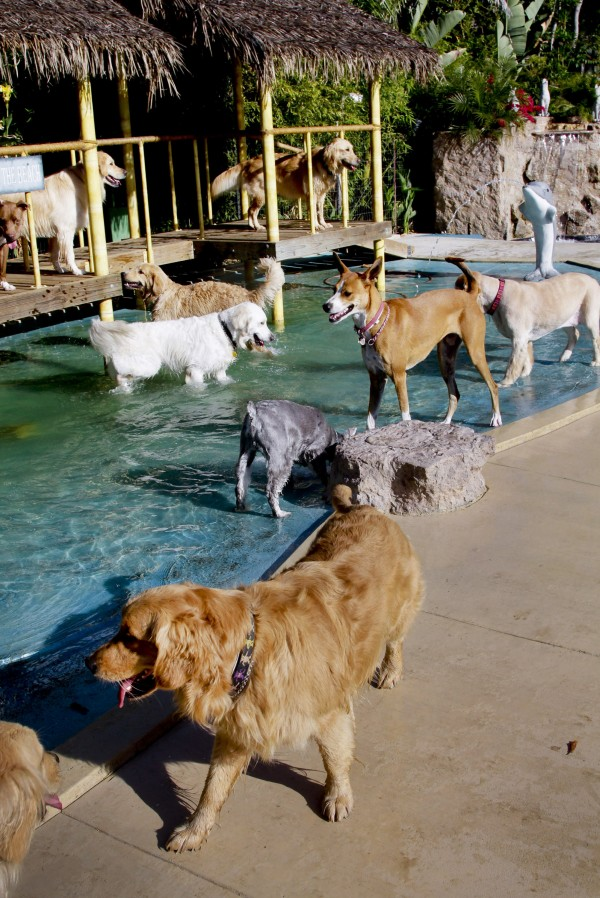 In this Tuesday May 3,2011 photo  dogs cool off on a hot afternoon in one of the wading pools at the Paradise Ranch Pet Resort in the Sun Valley section of Los Angeles.Never force a dog into the water, the experts said. The American Society for the Prevention of Cruelty to Animals recommends introducing your dog to the water very early, as a puppy if possible, making sure the experience is pleasant and never letting the dog get in water over its head until it is an accomplished swimmer.