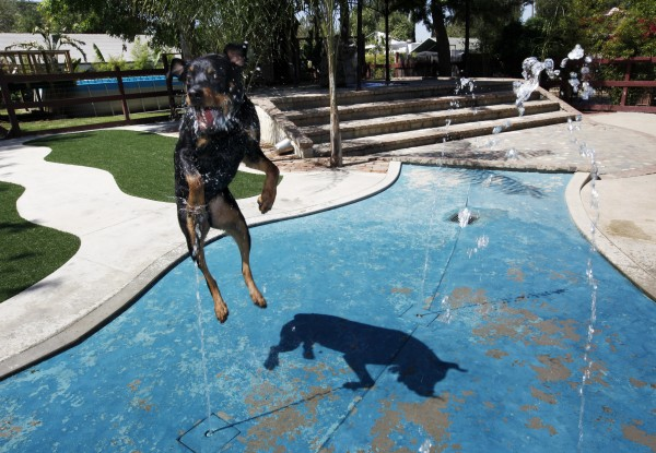This Tuesday, May 3, 2011 photo shows Chico, a 4-year-old Rottweiler, as he jumps up to catch water with his mouth at a fountain in a wading pool at the Paradise Ranch Pet Resort in the Sun Valley section of Los Angeles.  The American Society for the Prevention of Cruelty to Animals recommends introducing your dog to the water very early, as a puppy if possible, making sure the experience is pleasant and never letting the dog get in water over its head until it is an accomplished swimmer.
