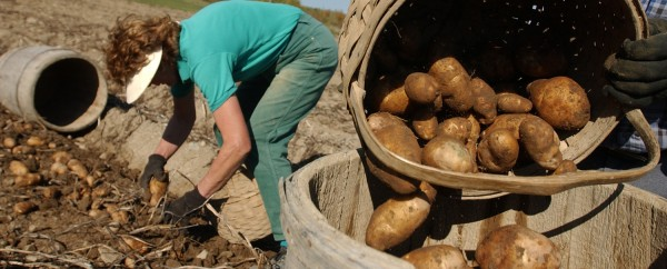 Jeannette and Roger Pelkey take advantage of warm weather to finish handpicking potatoes on their Caribou farm in 2003.